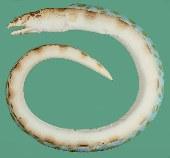 Image of Ophichthus erabo (Blotched snake-eel)