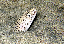 Image of Ophichthus ophis (Spotted snake eel)