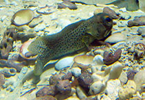 Image of Opistognathus punctatus (Finespotted jawfish)