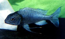 Image of Ophthalmotilapia ventralis