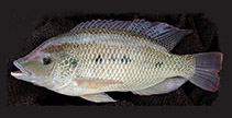 Image of Oreochromis andersonii (Three spotted tilapia)