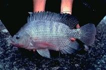 Oreochromis niloticus, Nile tilapia : fisheries, aquaculture