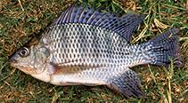 Image of Oreochromis niloticus niloticus (Nile tilapia)