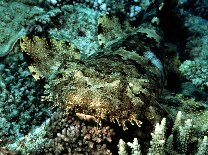 Image of Orectolobus ornatus (Ornate wobbegong)