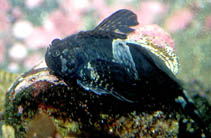 Image of Clinocottus globiceps (Mosshead sculpin)