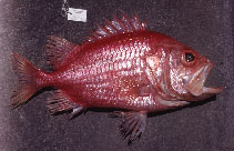 Image of Ostichthys japonicus (Japanese soldierfish)