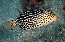 Image of Ostracion solorensis (Reticulate boxfish)
