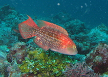 Image of Oxycheilinus bimaculatus (Two-spot wrasse)