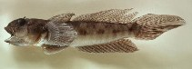 Image of Oxyurichthys ophthalmonema (Eyebrow goby)