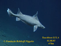 Image of Oxynotus paradoxus (Sailfin roughshark)
