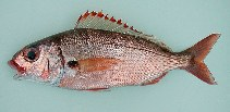 Image of Pagellus acarne (Axillary seabream)