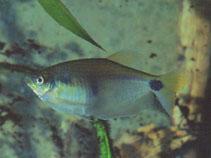 Image of Paragoniates alburnus