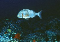 Image of Pagrus auriga (Redbanded seabream)