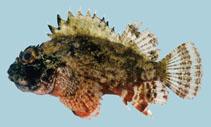 Image of Parascorpaena aurita (Golden scorpionfish)