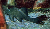 Image of Panaque cochliodon