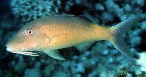 Image of Parupeneus cyclostomus (Gold-saddle goatfish)