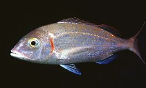 Image of Pagellus erythrinus (Common pandora)