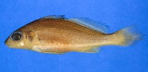 Image of Pachypops fourcroi (Guyanan croaker)