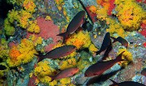 Image of Paranthias furcifer (Creole-fish)