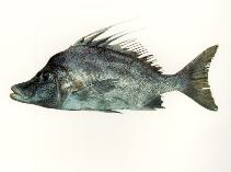 Image of Paristiopterus gallipavo (Yellowspotted boarfish)