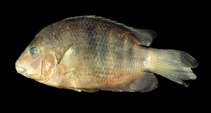 Image of Paretroplus lamenabe (Big red cichlid)