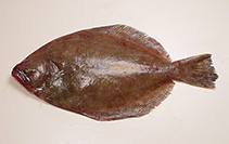 Image of Paralichthys lethostigma (Southern flounder)