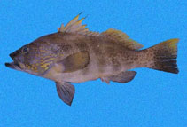 Image of Paralabrax loro (Parrot sand bass)