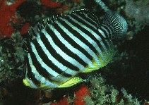 Image of Paracentropyge multifasciata (Barred angelfish)