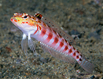 Image of Parapercis schauinslandii (Redspotted sandperch)