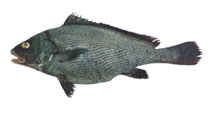 Image of Paranibea semiluctuosa (Half-mourning croaker)