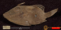 Image of Paramonacanthus tricuspis (Estuary filefish)