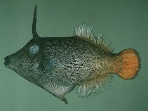 Image of Pervagor aspricaudus (Orangetail filefish)