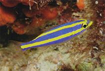Image of Pentapodus aureofasciatus (Yellowstripe threadfin bream)