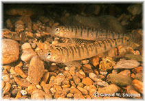 Image of Percina carbonaria (Texas logperch)
