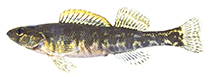 Image of Percina crypta (Halloween Darter)