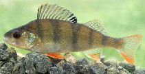 Image of Perca fluviatilis (European perch)