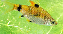 Image of Pethia gelius (Golden barb)