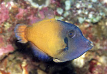 Image of Pervagor melanocephalus (Redtail filefish)