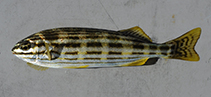 Image of Pelates octolineatus (Western striped grunter)