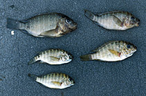Image of Petrochromis polyodon