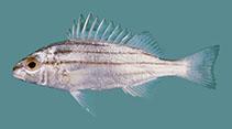 Image of Pelates quadrilineatus (Fourlined terapon)