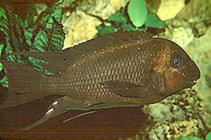 Image of Petrochromis trewavasae (Threadfin cichlid)