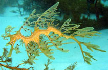 Image of Phycodurus eques (Leafy seadragon)