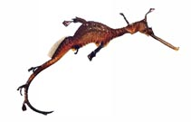 Image of Phyllopteryx taeniolatus (Common seadragon)