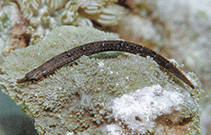 Image of Phoxocampus tetrophthalmus (Trunk-barred pipefish)