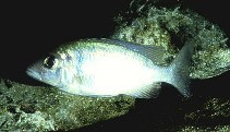 Image of Placidochromis electra (Deep-water hap)