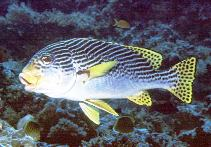 Image of Plectorhinchus lineatus (Yellowbanded sweetlips)