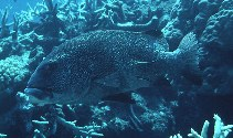 Image of Plectorhinchus obscurus (Giant sweetlips)