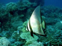 Image of Platax pinnatus (Dusky batfish)