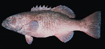 Image of Plectropomus punctatus (Marbled coralgrouper)